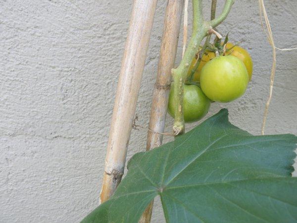 Conserva de tomate