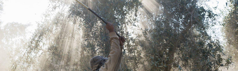 "Sigalit Landau ""The Olive Grove"", 2013, Video-instal·lació © Sigalit Landau"